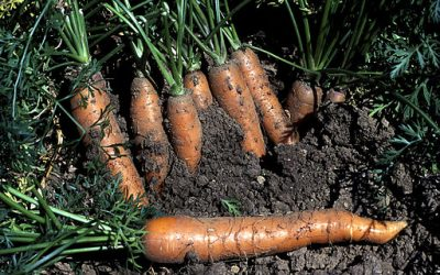 How To Grow Your Best Crop of Carrots Yet