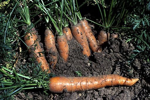 How To Grow Your Best Crop of Carrots Yet