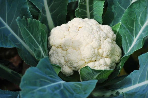 Growing Cauliflower: Tips For Your Most Abundant Harvest Yet