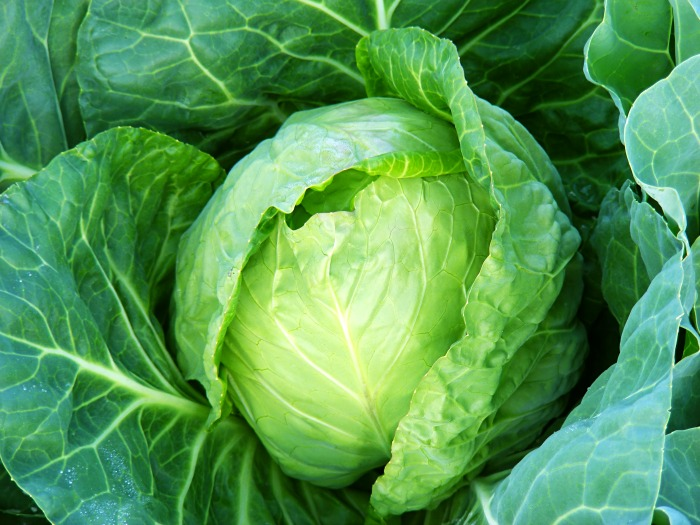 Growing Cabbage: Tips And Tricks For A Plentiful Harvest
