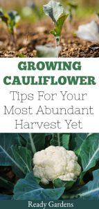 Ready Gardens cauliflower
