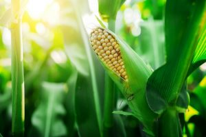 Ready Gardens - A Guide to Growing Organic Corn