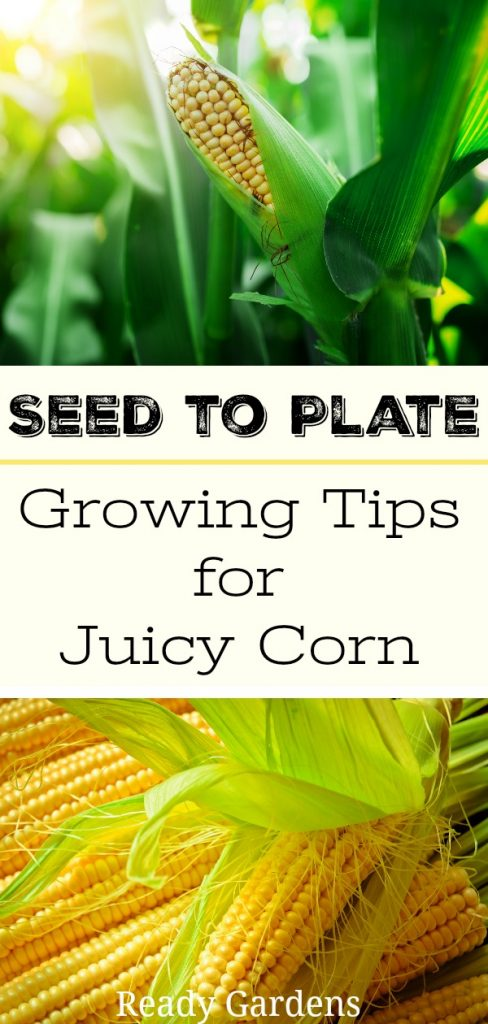 Ready Gardens - Here's a guide that tells you everything you need to know to grow juicy corn from start to finish.