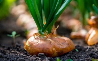 Everything You Need to Know To Grow Big Onions