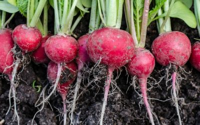 A Few Tips To Help You Achieve A Large And Flavorful Radish Crop
