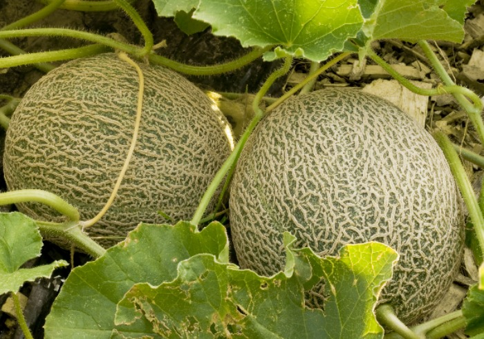 A Few Tips To Grow A Juicy Crop Of Cantaloupe Melons From Seed
