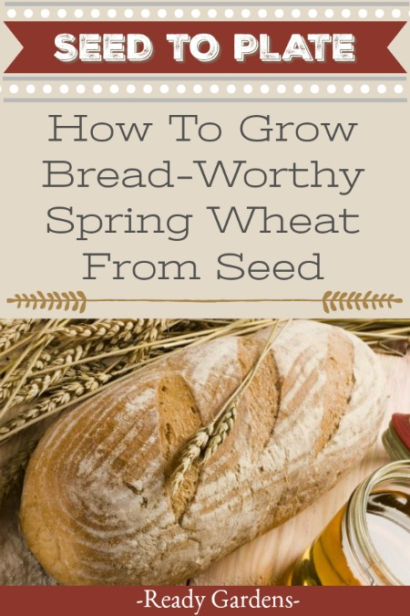 "Wheat is one of those staples that's been getting a bad rep lately. With the current diet trends leaning toward eating carbohydrates, wheat and bread aren't on the radar of many gardeners. But there are some benefits to growing it, especially if you select the ""hard red spring wheat."" #ReadyGardens #Gardening #NoGMO #GardenGuides #GrowYourOwn"