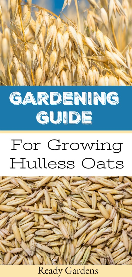 "Hulless oats are whole oats grown without the exterior hull, which means they require less processing after harvest and can be rolled or ground into flour.  They also provide a quick and healthy breakfast.  In our ongoing quest to become more self-sustaining, why we've put together this ""seed to table"" growing guide so you can try to grow your own hulless oats. #ReadyGardens"