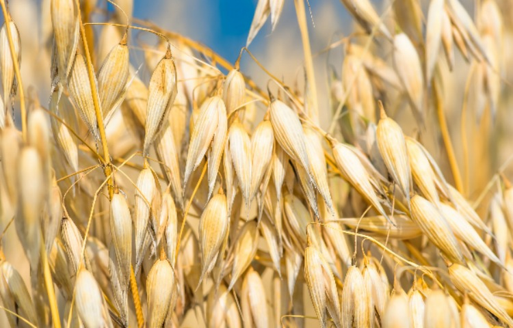 A Gardening Guide For Growing Hulless Oats