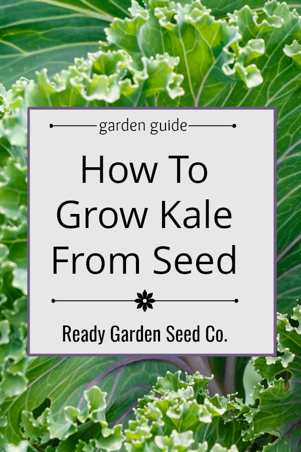 Kale is quickly becoming a favorite among gardeners simply because its easy to grow and packed with nutrition. Here's a step-by-step guide for growing this super food from seed.