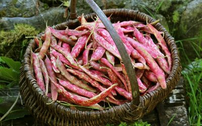 Grow Pinto Beans From Seed: A Complete Growing Guide