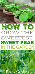 Sweet peas are the perfect addition to a cool weather garden and super easy to grow!