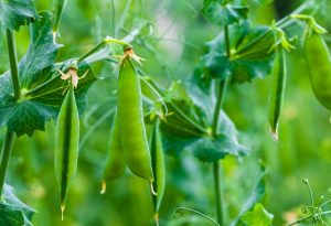Sweet peas are great addition to your fall garden and super easy to grow!