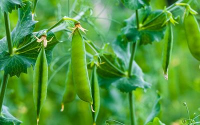 How To Grow The Sweetest Sweet Peas In Your Garden