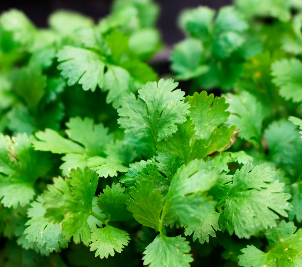 How To Store an Abundance of Cilantro