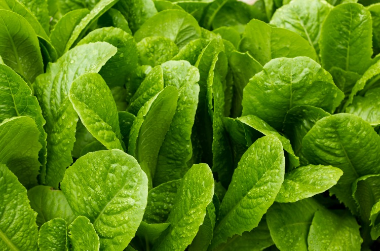 A Few Tips For Homegrown Salad-Worthy Lettuce In Winter