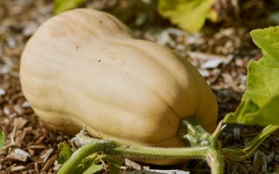 A Growing Guide For Delicious Butternut Winter Squash