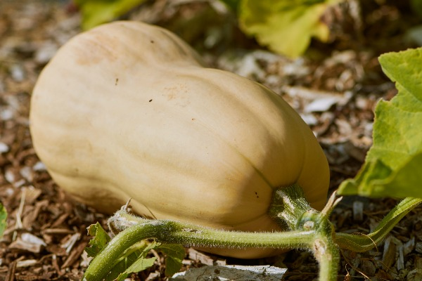 Squash has been a staple in the gardens of many for years.  It's easy to grow, and Butternut Winter Squash grows with a sweet and tender flavor, plus it's easy to peel for quick effortless meals! #ReadyGardens