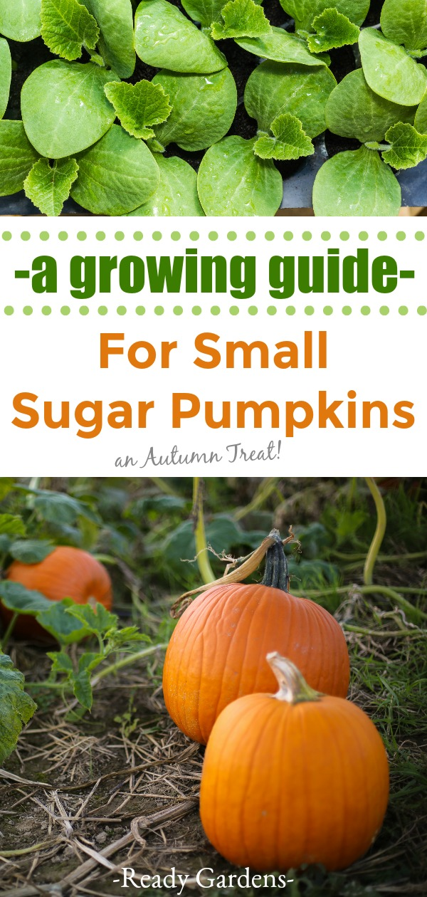 Small sugar pumpkins are a perfect addition to any autumn lovers garden!  Perfectly sweet or savory, based on your personal preference, these cute little pumpkins offer a nutritious treat without the tricks! #ReadyGardens